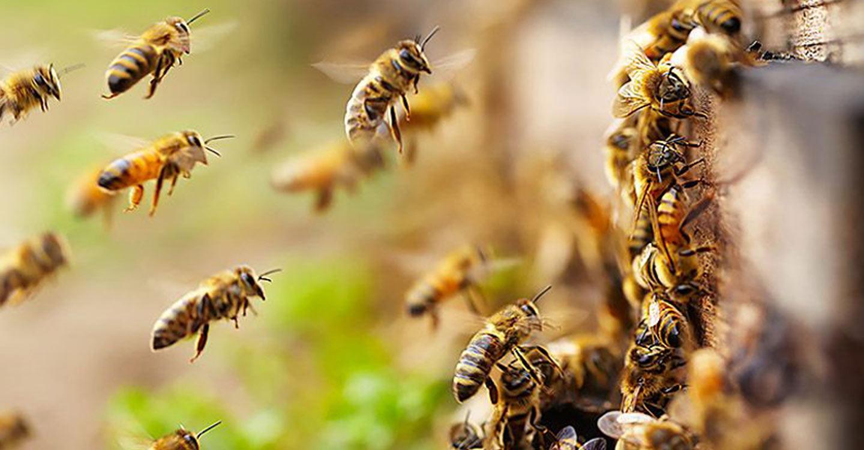 Perbedaan Madu Hasil Lebah Hutan dan Lebah Ternak